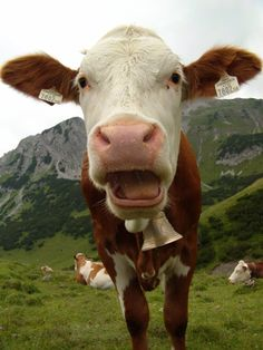 Kuh Heidi / Alpen / Austria / Cow