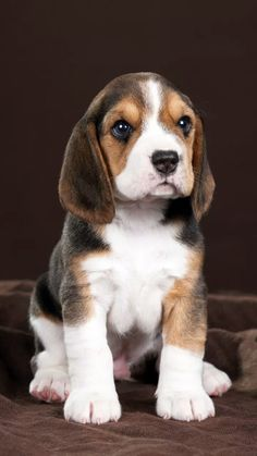 Cute Dogs And Puppies, Baby Dogs, I Love Dogs, Pet Dogs, Dog Cat, Doggies, Cute Baby Animals, Animals And Pets, Cute Beagles