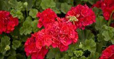 Mușcatele se numără printre cele mai îndrăgite flori pentru balcoane și terase, ușor de cultivat și în jardiniere, și în ghivece suspendate, ba chiar și în curte, printre florile de grădină. Iată cum să le înmulțești, ca să ai balconul plin de flori. Înmulțirea mușcatelor prin semințe este mai...