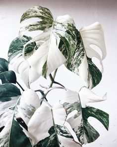 Monstera Deliciosa plants are stunning in full green but how gorgeous are they when they're White Albo Variegated?