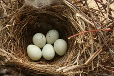 house finch eggs - Google Search