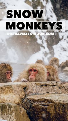 Come and see why Japan's onsen-loving snow monkeys are so adored. Packed full of photos and tips for Japan travel.   #Japan #Japantravel #VisitJapan