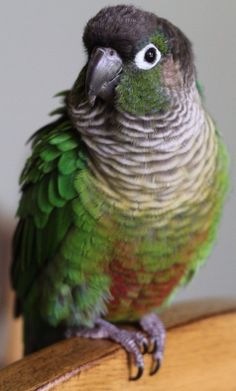 Green Cheek Conure. I've handled these birds and they are just the sweetest ever! they love to climb your shoulder and hang out!