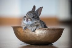 grumpy bunny in a bowl