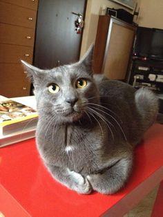 Mimis #korat cat