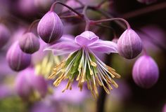 Thalictrum sp.