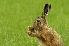 European Hare Washing by Marco Hebing