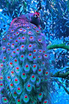 A peacock that has odd feather markings very pretty though