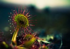 "Joni Niemelä captures the moments within nature often looked over, the extreme details seen best through macro photography and an imaginative eye. One of Niemelä's photographic obsessions is the carnivorous plant Drosera, more commonly known as the ""Sundew,"" a nickname which refers to droplets that collect on the plant similar to morning dew."