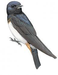 Red Sea Swallow (Petrochelidon perdita)