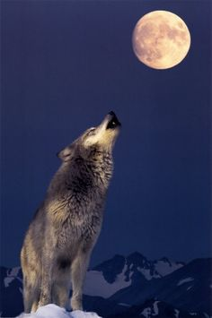 Gray Wolf howling at the moon.