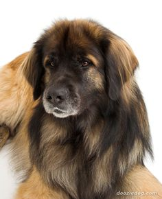 Ahhh I want one  Leonberger; Such cool colors --- Newfoundland, St Bernard, and Great Pyrenees come together in this pup. So they are great with kids.