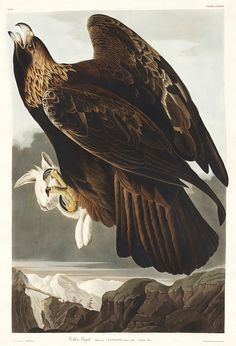 Golden Eagle From Birds Of America (1827) By John James Audubon (1785    1851), Etched By Robert Havell (1793   1878). The Original Birds Of America  Is The ...