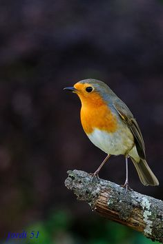 Robin, rødkælk, rødhals, bird, cute, nuttet, photo