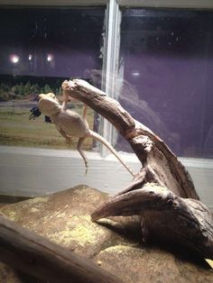 Funny pictures about Parkour Dragon. Oh, and cool pics about Parkour Dragon. Also, Parkour Dragon photos. Bearded Dragon Habitat, Bearded Dragon Cage, Bearded Dragon Funny, Bearded Dragon Enclosure, Cute Funny Animals, Funny Animal Pictures, Cute Baby Animals, Animals And Pets, Funny Pets