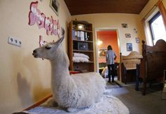 Lạc đà không bướu nằm trong phòng khách của nhà chủ tại thị trấn Muelheim, Đức.