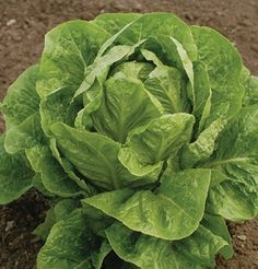 Jericho Summer Lettuce has heat and tipburn tolerance with excellent taste.