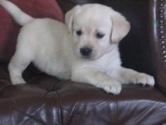 soo cute! goldador puppy! combination golden retriever and labrador!