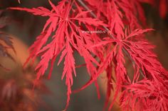 Japanse esdoorn 'Tamuke yama' (Acer palmatum 'Tamuke yama')   MijnTuin.org