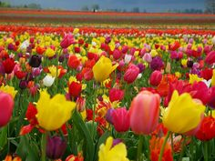 Flower garden of tulips