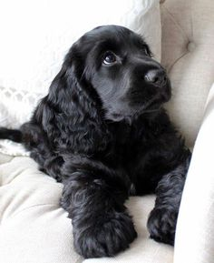 Cocker Spaniel Puppies grow into such loyal friends Baby Animals Pictures, Cute Animal Pictures, Animals And Pets, Cute Little Animals, Cute Funny Animals, Beautiful Dogs, Animals Beautiful, Cute Dogs And Puppies, Love Dogs