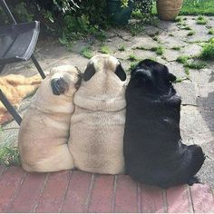 Figure out additional info on pug dogs. Check out our internet site. Figure out additional info on pug dogs. Check out our internet site. Black Pug Puppies, Cute Puppies, Dogs And Puppies, Small Puppies, Pet Dogs, Dog Cat, Pets, Doggies, Pug Love