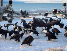 A lady in Homer, Alaska named Jean Keene, fed all of these eagles in a designated area. The feeding area was by Mrs. Keene's trailer which, was located on the end of the Homer Spit. She fed these eagles for years until her passing in 2009 at the age of Alton Illinois, Homer Alaska, Eagle Pictures, Bear Pictures, Birds Of Prey, Bird Watching, Beautiful Birds, Animals Beautiful, Beautiful Creatures