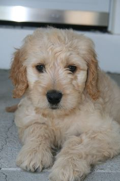 Our 8 week old Golden Doodle puppy----- again not our Jazzy but a twin of her they are precious puppies. LoVe her soooooo much
