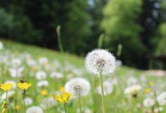 Juni, Dandelion, Tags, Flowers, Plants, Blog, Dandelions, Blogging, Plant