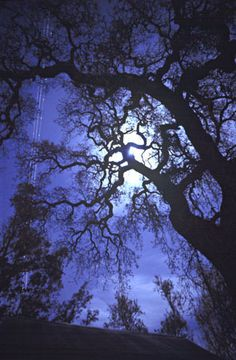 Full Moon Oak. Abandoned farm east of San Jose, California. Soon to be a subdivision. (Note the airliner flying through on the left.) Copyright 2001 by Troy Pavia.