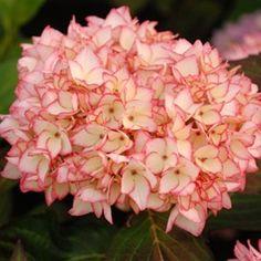 fleurs moyennes en boule les s pales blancs sont fortement bord s d 39 un liser rouge sa. Black Bedroom Furniture Sets. Home Design Ideas