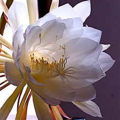 Night blooming cactus (epiphyllum oxypetalum), a nocturnal and fragrant bloom. Odor profile: tropical cactus plant with flowers which smell like vanilla