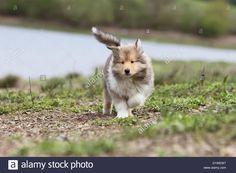 dog-rough-collie-scottish-collie-puppy-sable-white-running-on-the-D1WEW7.jpg (1300×956)