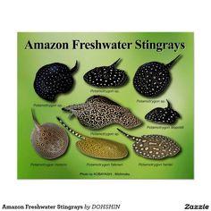 Keeping Motoro stingray Potamotrygon motoro in home fish tanks