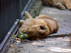 Little sleeping lion :D
