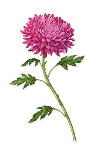 """""""Chrysanthemum"""" watercolor by Carrie Di Costanzo"""