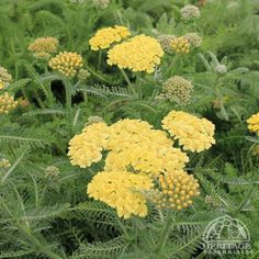 Achillea millefolium Desert Eve™ Light Yellow.  This selection has large, light yellow flower clusters which is a great colour to combine with other perennials. Good for cutting, fresh or dried. Remove faded flowers regularly to promote continued blooming. Inclined to spread, so site this carefully or plan to reduce the clumps each spring. Easily divided in fall or early spring. Plants may be trimmed back hard after the first flush of bloom, to maintain a compact habit. Heat tolerant.