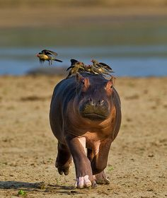 Panicky baby hippo running from the birds on its back.
