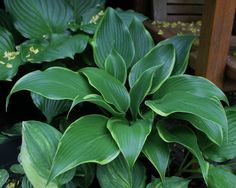 Hosta 'Valley's Cover Lady'