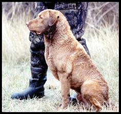The Chesapeake Bay Retriever...I love these dogs