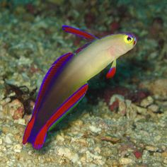 purple firefish - Google Search