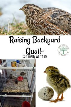 Backyard quail do have a lot of drawbacks, and for some, it's just not worth the benefits. Is the return on investment really worth the trouble? The Homesteading Hippy Backyard Poultry, Backyard Chicken Coops, Backyard Farming, Chickens Backyard, Quail Pen, Quail Coop, Raising Quail, Raising Chickens, Button Quail