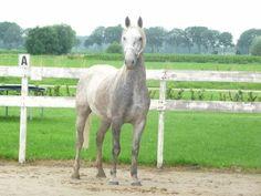 Paard te koop: Lipizzaner - Schimmel - Mooie Lipizzaner ruin, moet weg vanwege emigratie - HorseStep