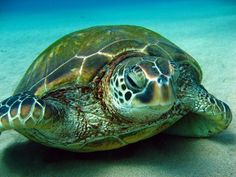 Green Sea Turtle  Chelonia myda. Photo by David Anderson via divebums.com. Maui, Hawaii.
