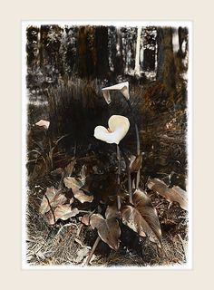 Arum Lily - Marlene Neumann Fine Art Photography www. Neumann, Fine Art Photography, Still Life, Moose Art, Lily, Pure Products, Animals, Inspiration, Image