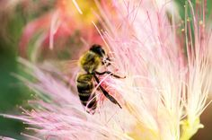 'In the flower' by miklosharmatos My Photos, Insects, Bee, Flowers, Animals, Animais, Animales, Animaux, Floral
