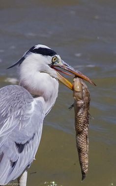 Grey Heron Grey Heron, Image Database, Bird Watching, Love Birds, Science Nature, Mother Nature, Wildlife, Storks, Herons