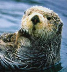 Sea Otters once numbered in the hundreds of thousands, before the Russians nearly hunted them into extinction for their fur. Even though the sea otter's population rebounded well during the 20th century, the IUCN still lists sea otters as an Endangered Species, threatened by oil pollution, predation by killer whales, and mortality related to fisheries.