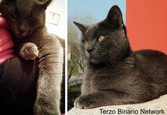 CARPENEDOLO (BRESCIA): SMARRITO BLU, GATTO SIMIL CERTOSINO GRIGIO http://www.terzobinarionetwork.com/2015/09/carpenedolo-brescia-smarrito-blu-gatto.html