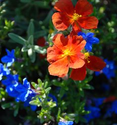 Red sunrose and heavenly blue - June (150)